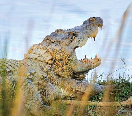 Gujarat's burgeoning crocodilopolis