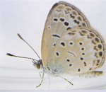 A healthy pale grass blue butterfly