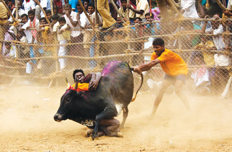 The Supreme Court of India banned Jallikattu, the traditional bull taming sport of Tamil Nadu, saying it is cruel to the animal