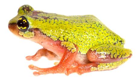 Raorchestes flaviocularis (Photo: S P Vijayakumar)