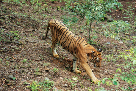 The Status of Tigers in India report found the presence of five tigers in Goa's Western Ghats region