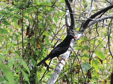 Grey-winged black bird