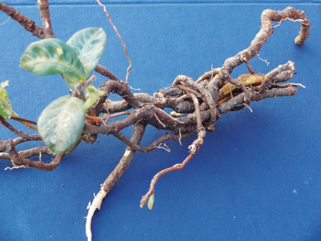 Anantamool vine. Its powerful health benefits are recognised in ayurveda