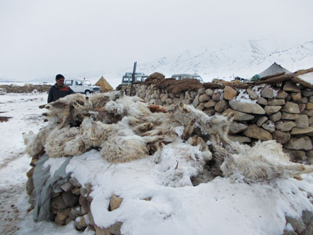 About 25,000 chingra or pashmina goats have died since February