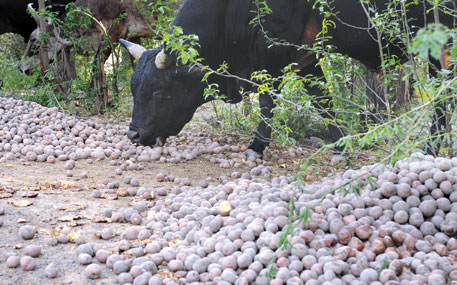 Stray animals eating potatoes dumped by farmers at Sanctuary Road Nabha in Patiala on April 3, 2015