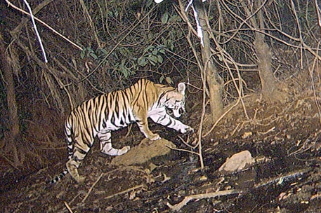 The state government has appointed noted expert Ulhas Karanth to conduct a detailed study, using the more reliable camera trap method to track tigers