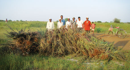 After 2010 monsoon, forest officials with the help of volunteers uprooted Hyptis suaveolens from Great Indian Bustard Sanctuary