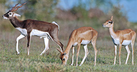 The number of blackbucks in Nanaj sanctuary is down to 200-odd individuals over the past few years