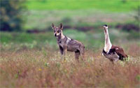 Nanaj is left with a pair of bustards, five to 10 wolves and few other species