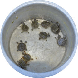 Eleven of the 25 hatchlings at Sajnekhali wildlife sanctuary in West Bengal