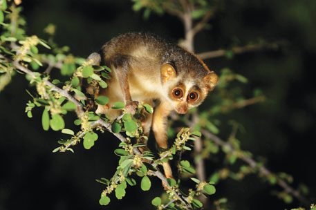 Photographers sometimes lure tribals with money to catch slender loris