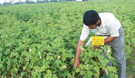 Vidarbha experiment with desi cotton to be extended to 10 states