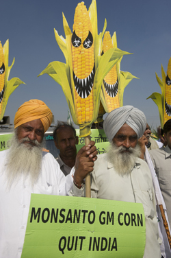 Haryana farmers protest open field trials of GM corn