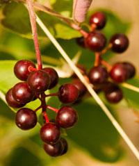 Berries boost effectiveness of cancer treatment