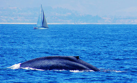 Blue whales face risk from ship strikes