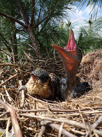 Spot the difference: A great spotted cuckoo chick is raised alongside a carrion crow chick (Image courtesy Vittorio Baglione)