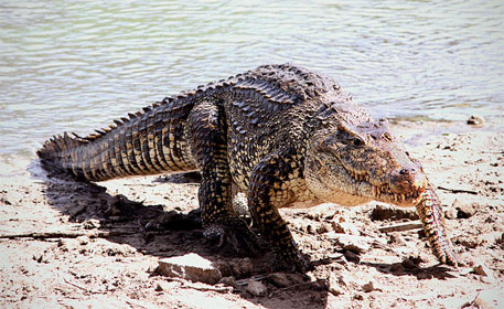 Cuban crocodiles near extinction; inter-breeding with other species main reason