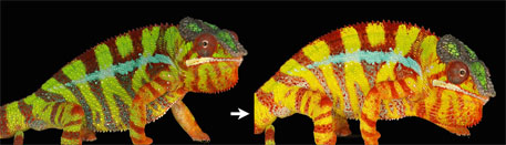Chameleons use nanocrystals to change colour
