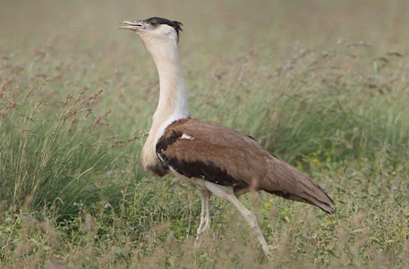 Finally, a recovery programme for the neglected bustards