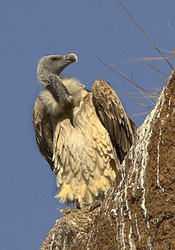 South Asian nations will now cooperate to save the vulture
