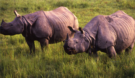 A pair of one-horned rhino at Kaziranga National Park (File photo/CSE)