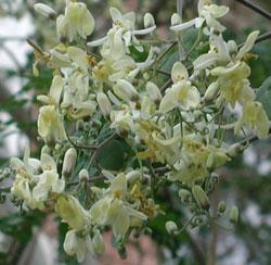 Moringa-oleifera