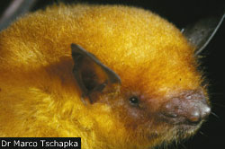 Bolivian golden bat is a new species, claims study