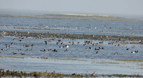 Though the heronry or the breeding ground in the lake's core island of Nalabana is abuzz with chirp and cacophony, the number of birds flocking the lake has reduced considerably
