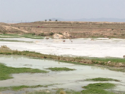 Cattle in the ash ponds in Korba. Cattle reportedly die in slushy pits