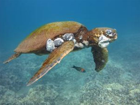 Oceanic turtles face cancer risk due to water pollution, says study