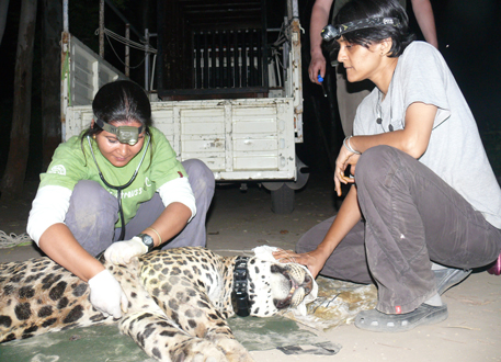 Radio-collared leopard killed by speeding vehicle in Thane