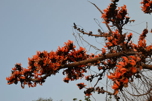The flame of the forest, also known as palash, dhak and tesu, is an important source of income for local people