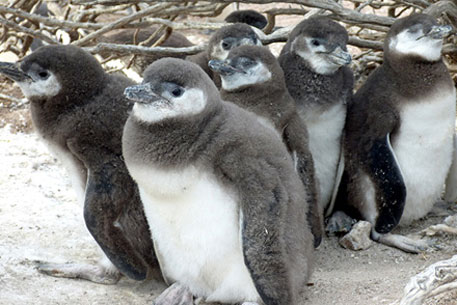 Penguins at risk of extinction because of human activity