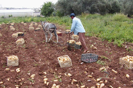 A Palestinian farmer harvests his crop (Photo courtesy: FAO)