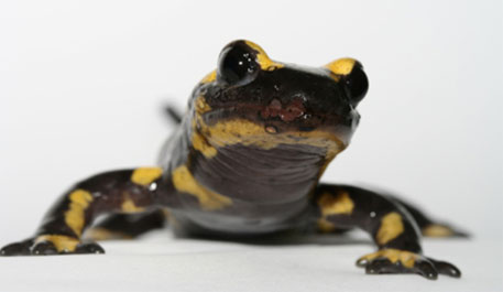 Asian fungus killing salamanders in Europe, could spread to US