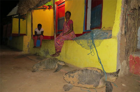 Olive Ridley turtles disoriented, lay eggs in villages away from nesting sites