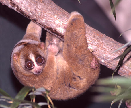 Sunda Slow Loris, a non-flying and vulnerable pollinating species