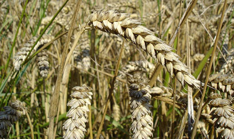 Heavy rainfall and hailstorm have caused extensive damage to the wheat crop (Photo Credit: Wikipedia)