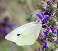 The survival of cabbage white butterfly was lower on the high sodium diet than those on medium or low sodium diet