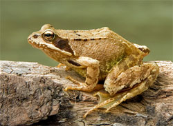 The European Common Frog is among the many susceptible to Ranavirus