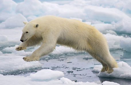 A polar bear in Spitsbergen Island, Norway (Photo : Wikimedia Commons)