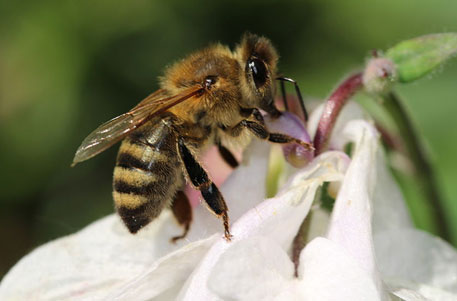 Threat to wild bees from commercial apiculture, says study