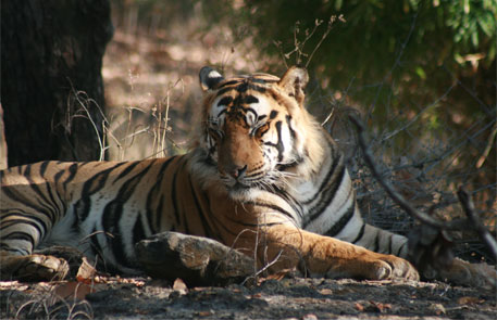 With more tigers now, government decides to redistribute big cat