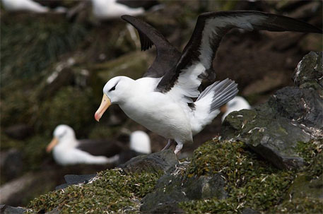 Black-browed Albatross, Kerguelen Island, French Southern and Antartic Lands (Source: Wikimedia Commons)