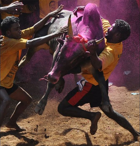 Animal rights groups welcome SC ban on Jallikattu