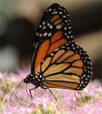 Monarch butterfly numbers rise even as scientists sound extinction alarm