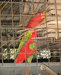 The chattering lory, an exotic found in Maluku, Indonesia (Image courtesy Wikimedia Commons)