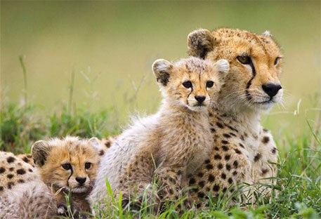 Cheetah trade could drive the species to extinction