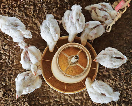 On the pretext of preventing diseases, poultry farmers use antibiotics in feed to fatten the birds. There is no way to differentiate between disease prevention and growth promotion (Photo: Vikas Choudhary / CSE)