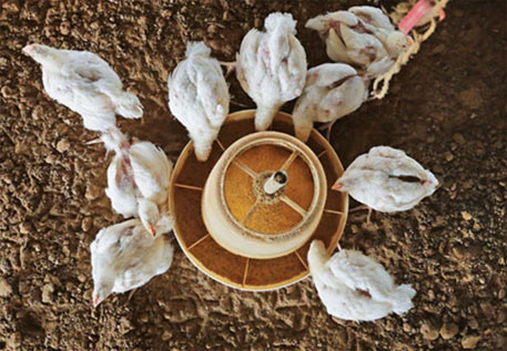 On the pretext of preventing diseases, poultry farmers use antibiotics in feed to fatten the birds. There is no way to differentiate between disease prevention and growth promotion  (Photo by Vikas Choudhary)